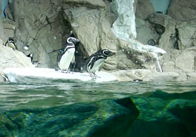Pinguïns in Aquarium van Genua in Ligurië