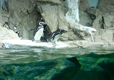 Pinguïns in Aquarium van Genua in Ligurië
