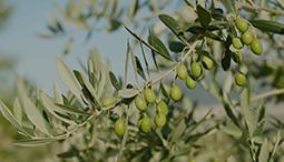 Probeer Ligurische olijfolie en andere lokale specialiteiten