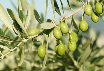 Groene olijven uit Taggiasca olijfboom