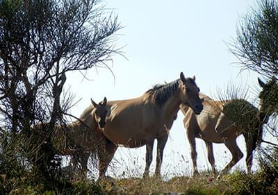 Paarden eten het gras en genieten van de Ligurische weer
