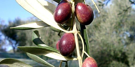 Taggiasca olijven in Ligurië