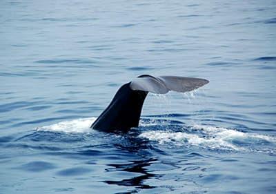 Mooie walvis van een walvissen spotten excursie in Ligurië