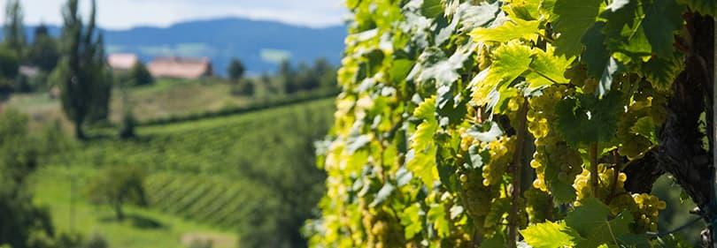 Wijnbouwers in Ligurië
