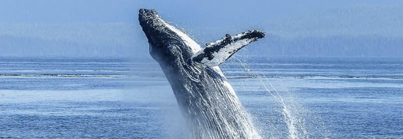 Walvis tijdens een walvissen spotten excursie in Ligurië