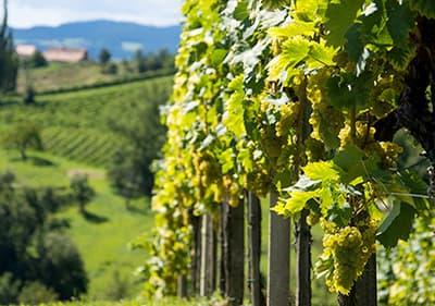 Wijnboeren in Ligurië