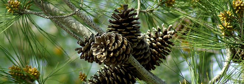 Denneboom in Ligurië