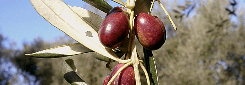 Taggiasca olijven zijn klaar om te worden geplukt