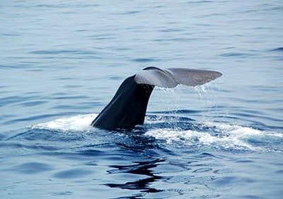 Walvis zwemmen in Ligurië